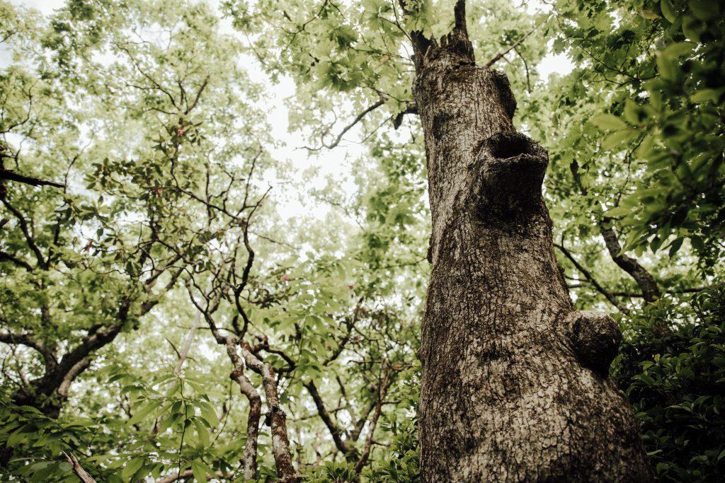 blood mountain tree